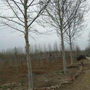 13公分法国梧桐树