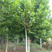 11公分法国梧桐树