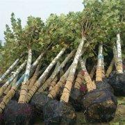 12公分法国梧桐树