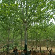 18公分法国梧桐树
