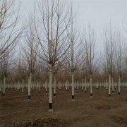 25公分法国梧桐树