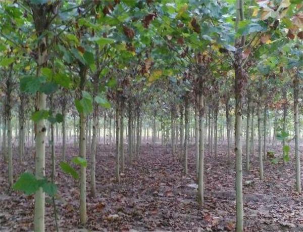 11到12公分原枝原帽的法桐带土球价格是多少