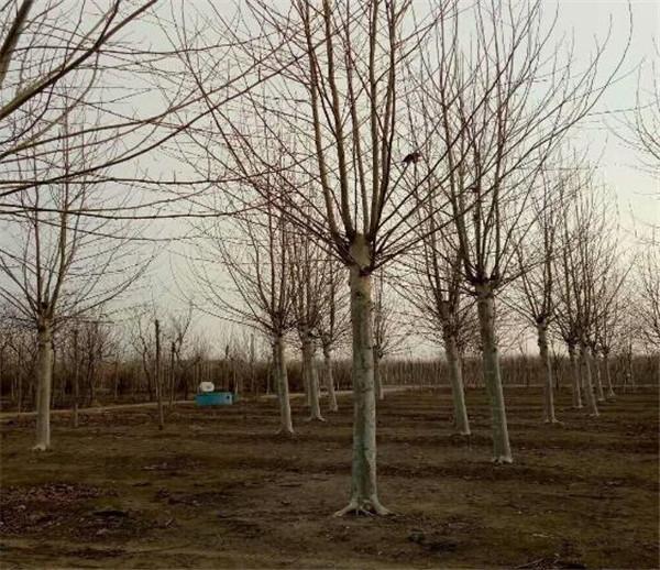 济宁正规的法桐基地 米径25公分法桐报价信息