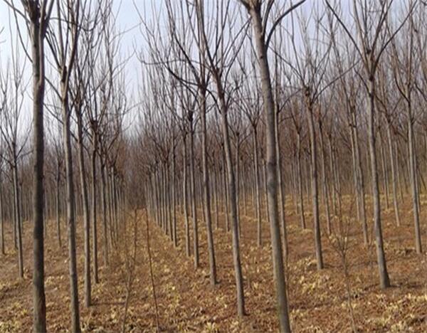 8公分南栾近期价格 如何改良黄山栾树土壤