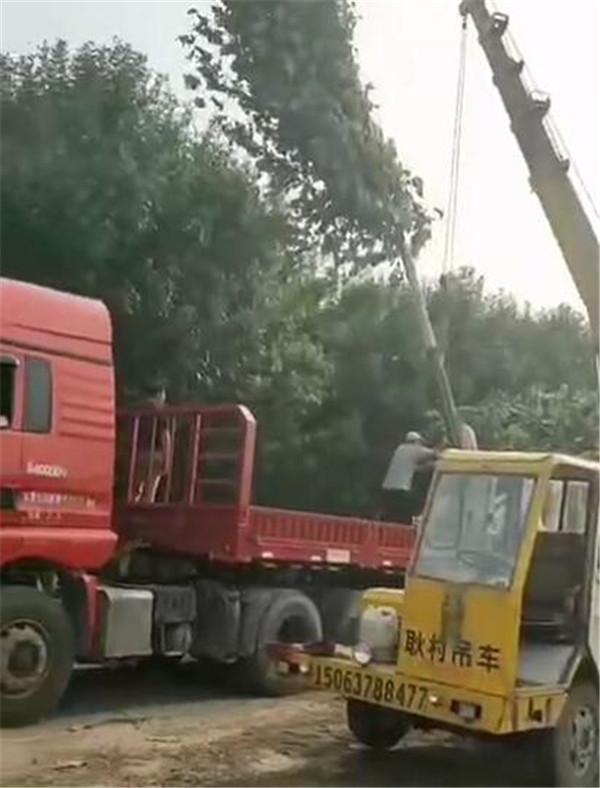 15公分造型法桐1米土球发往浙江湖州