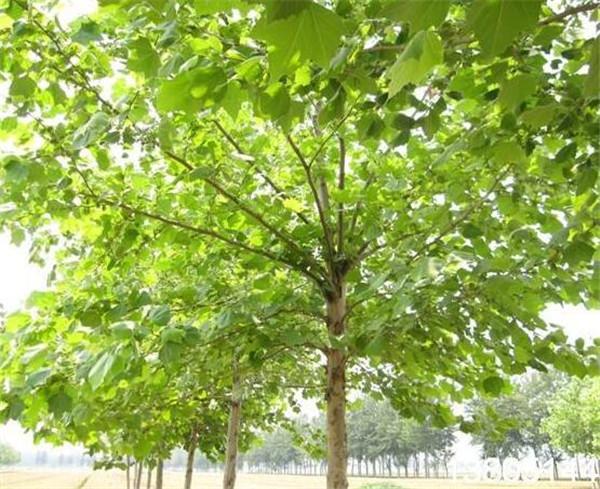 法桐蜕皮是得病了吗 法桐树干根部开裂是什么原因