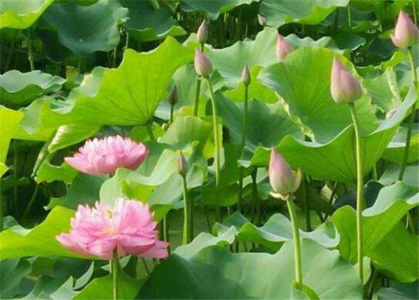 一、荷花水生种植物,喜爱平静流水缓慢的沼泽等地是荷花最适合生存的地方,应此多见于池塘等地,荷花应品种的不同荷花本身的需水量也有所不同,荷花对没有水分是十分敏感的,在炎热的夏天几个小时没有水,荷花就会慢慢枯萎,颜色也不会鲜艳靓丽,荷花特别喜欢阳光,种植荷花需要注意的是,荷花不喜欢阴凉的地方,需要全部的光照才能生长的更旺盛茁壮,荷花喜欢盛开在炎热的夏天,正因如此种植荷花的水温应该在十五摄氏度以上否则荷花将停止生长,夏季气温高,水温随之增高当水温二十六摄氏度左右时并不影响荷花的正常生长。