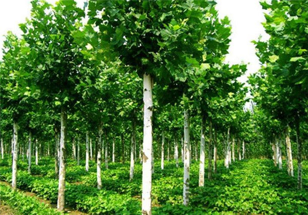 为什么家里不栽种法国梧桐树 有什么说法吗