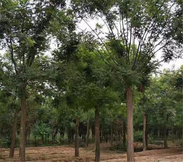 21公分国槐树最新报价 21cm国槐苗圃直销价格便宜