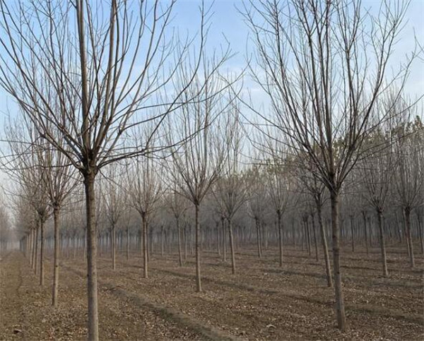 15公分速生白蜡树最新价格表 15cm白蜡近期装车价格