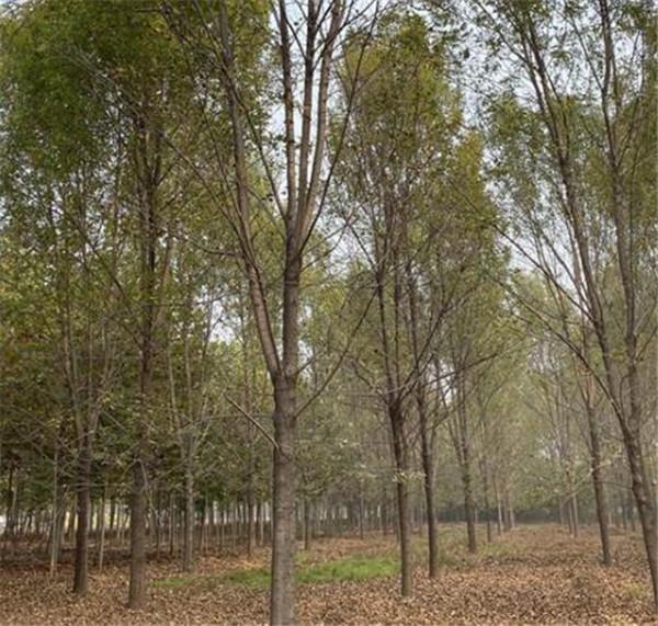 16公分白蜡树速生老式均有价格便宜