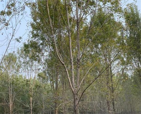 苗圃直销14公分白蜡树报价便宜
