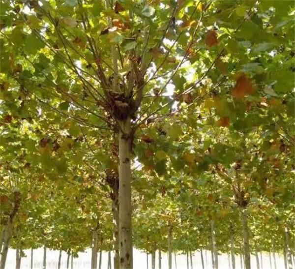 15公分法桐树最新价格 截干两到三年冠树形优美质量一级