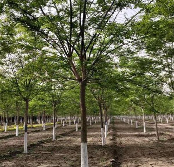 26公分国槐价格 一手资源可随时号树