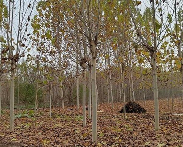 济宁15公分造型法桐价格 15cm法桐树冠幅好报价便宜