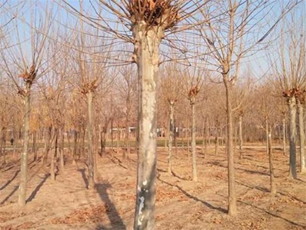济宁苗圃直供20公分造型法桐价格便宜一手资源直供
