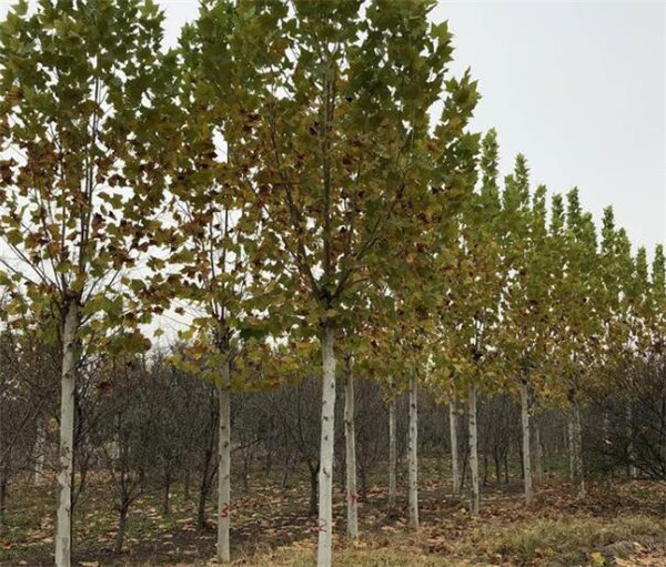 12公分法桐2-3年冠价格 哪里大量有12公分的造型法桐树