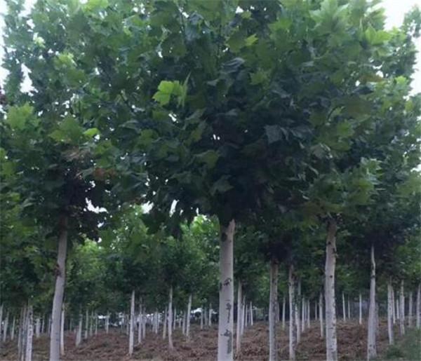 胸径40公分法桐价格是多少 哪里有50公分的法桐树