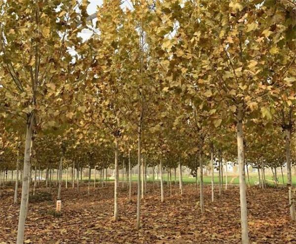 找14公分速生法桐树造型全冠均有价格不高