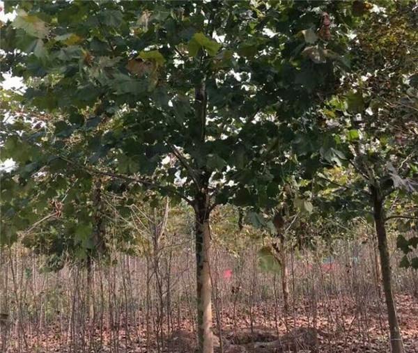 16公分悬铃木最新价格是多少钱
