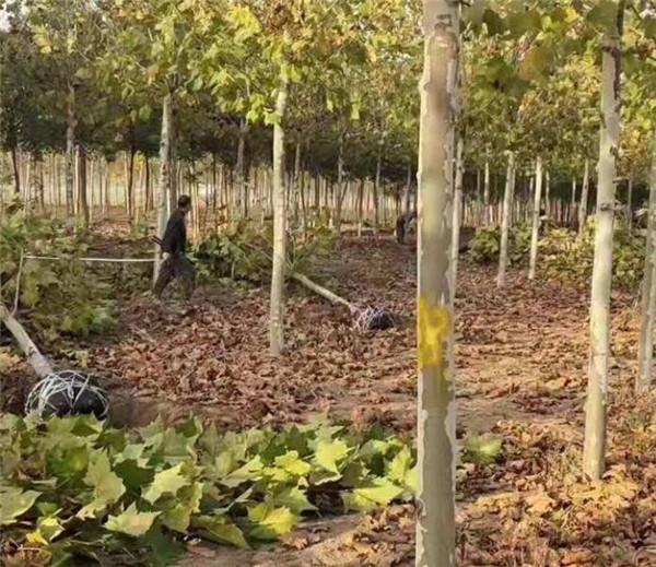 18公分悬铃木一级树形现在是什么价格
