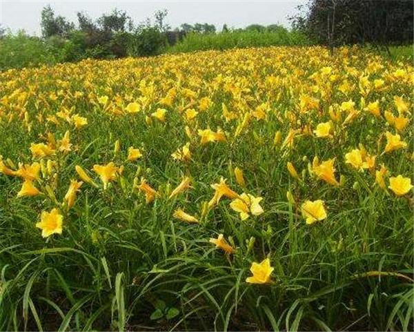 金娃娃萱草种子播种方法 金娃娃萱草种植技术