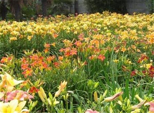 萱草花品种名称及图片 萱草花的养殖方法和注意事项