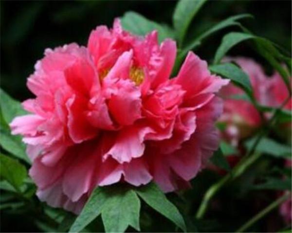 中国的国花是什么花 盘点最受欢迎的花卉