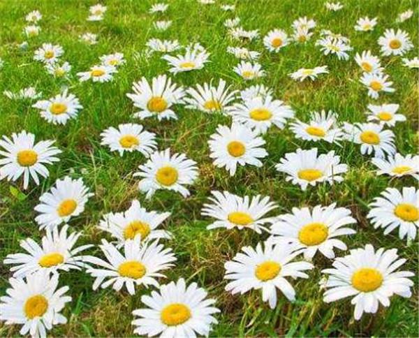 意大利国花