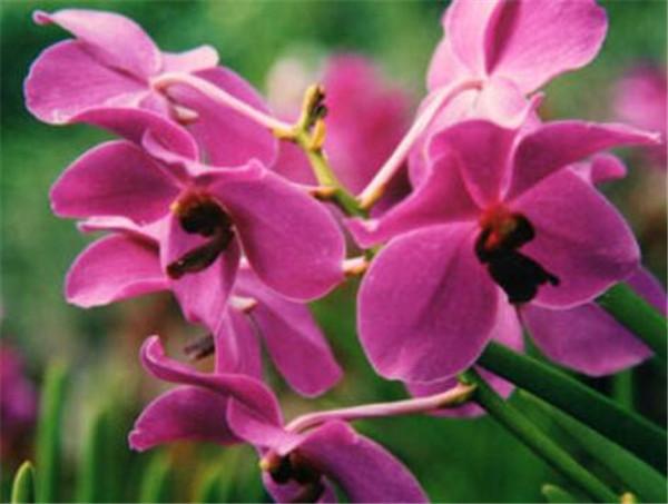 新加坡的国花胡姬花