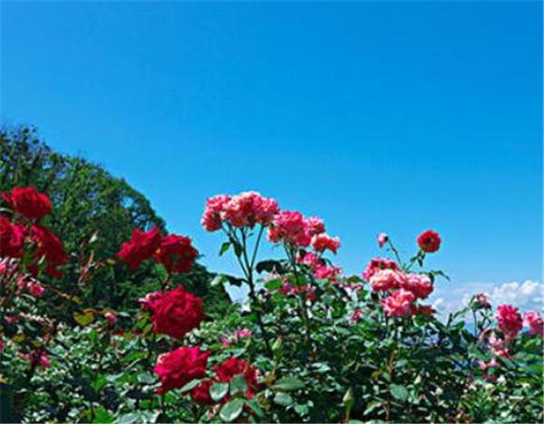 保加利亚是世界上最大的玫瑰之国