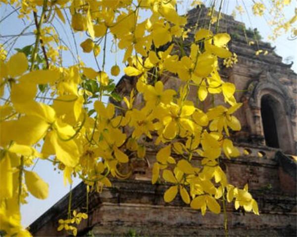 泰国国花金链花