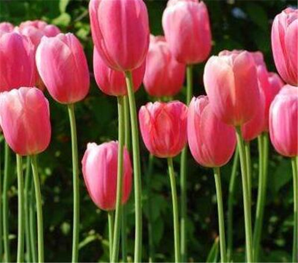 郁金香是哪个国家的国花 荷兰郁金香的图片产地和资料