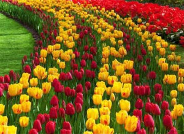 郁金香代表什么 金色、白色和紫色郁金香花语