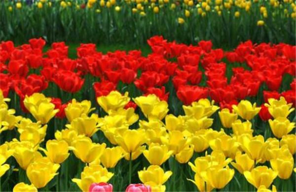 郁金香什么时候开花 郁金香花期是几月份