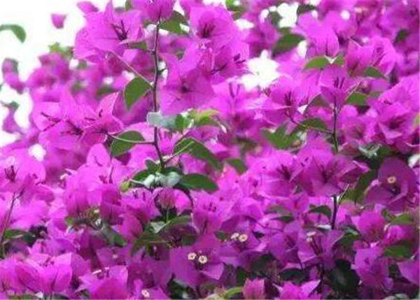 三角梅球怎么种 三角梅什么时候开花
