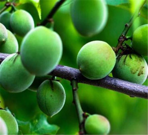 酸梅汤的功效与作用 酸梅汤的配方和制作方法