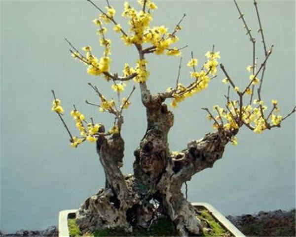 腊梅盆景适合放在家里吗 腊梅盆景的养护与管理