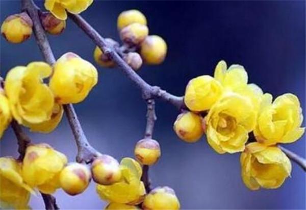 蜡梅花开时间和图片 腊梅的花语和寓意是什么