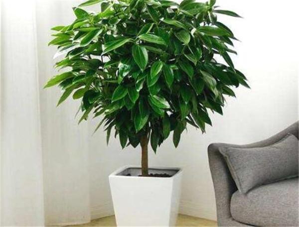 平安树的养殖方法和注意事项 平安树叶子下垂怎么办