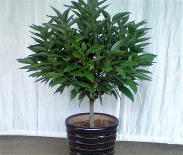 平安树图片价格多少钱一盆 平安树怎么养