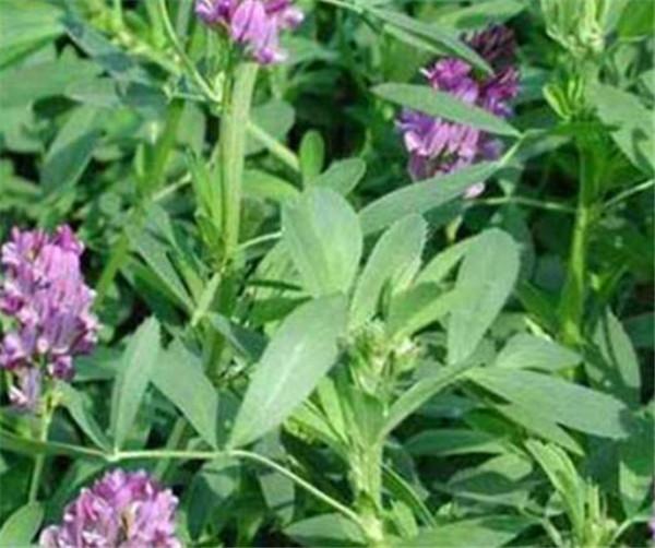 紫花苜蓿草用途有哪些 苜蓿草几月份开花