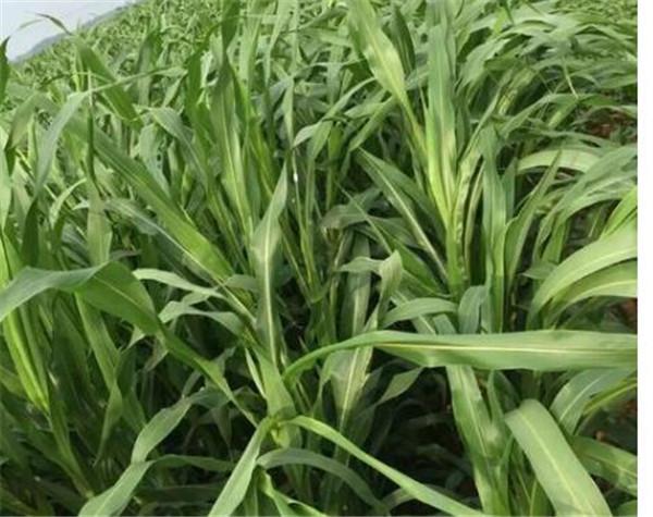 苏丹草一亩需多少种子 苏丹草种子种植技术