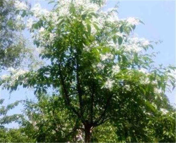 流苏树价格多少钱 流苏树种植技术