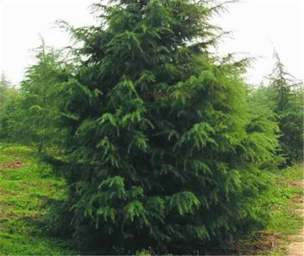 雪松种子价格多少钱一斤 雪松小苗种植技术