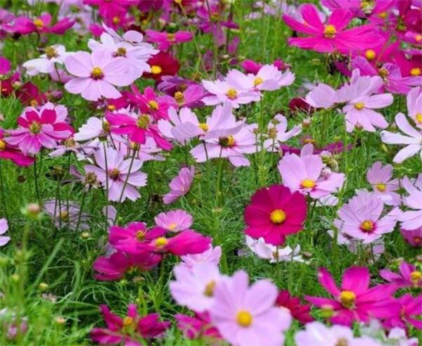 波斯菊的种植方法 蓝波斯菊什么时候播种