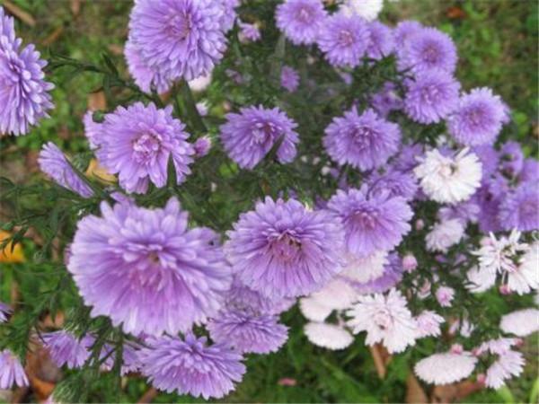 翠菊的花语是什么 翠菊怎么养