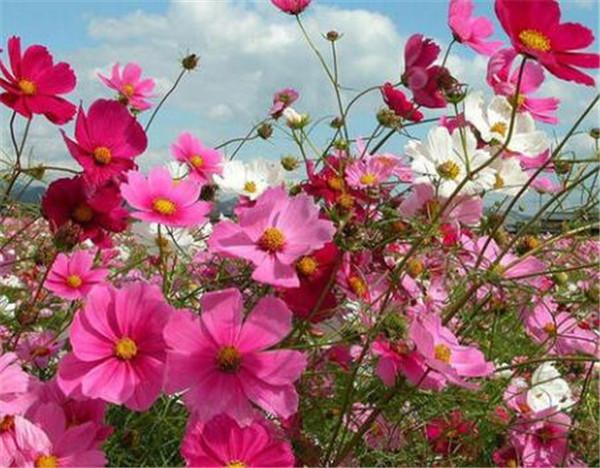 波斯菊种子怎么种 波斯菊的图片和花语