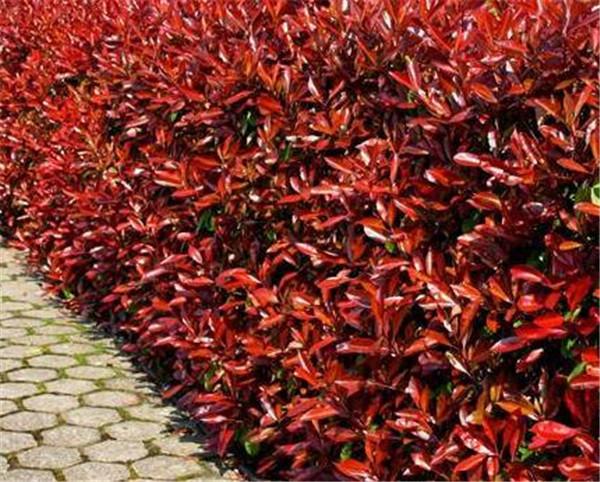 红叶石楠扦插种植方法 红叶石楠球修剪技巧