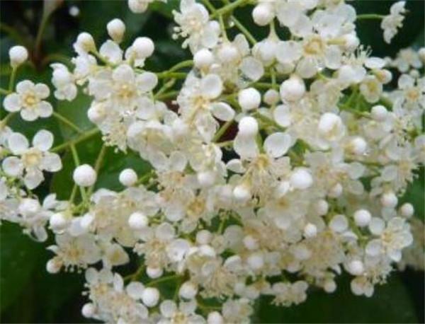 石楠花的味道是什么梗 石楠花为什么叫最污花